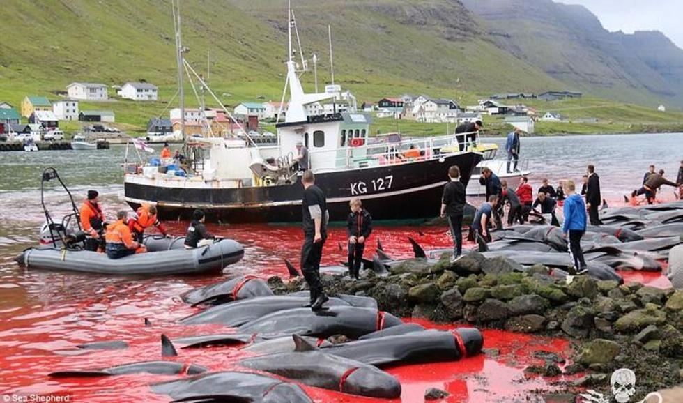 danimarka-Faroeadalarinde-balina-katliami